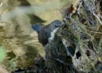 Dipper, River Dulais