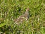 Grey Partridge, Cefn Drum