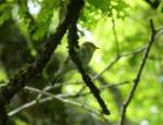 Wood Warbler, RSPB Dinas