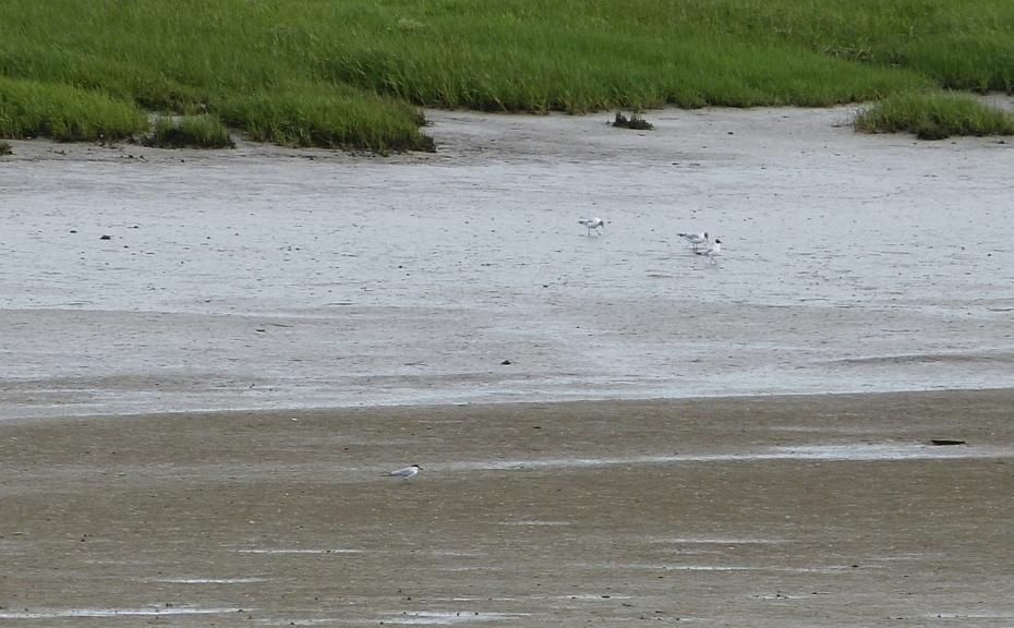 Gull-billed Tern, Loughor Bridge