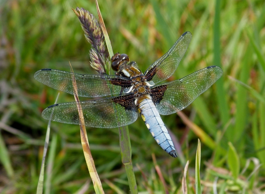 Broad-bodied Chaser, Marloes Mere
