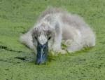 Mute Swan Cygnet, WWT London