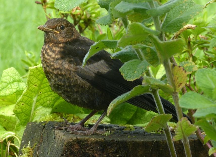 Blackbird Fledgling, Garden