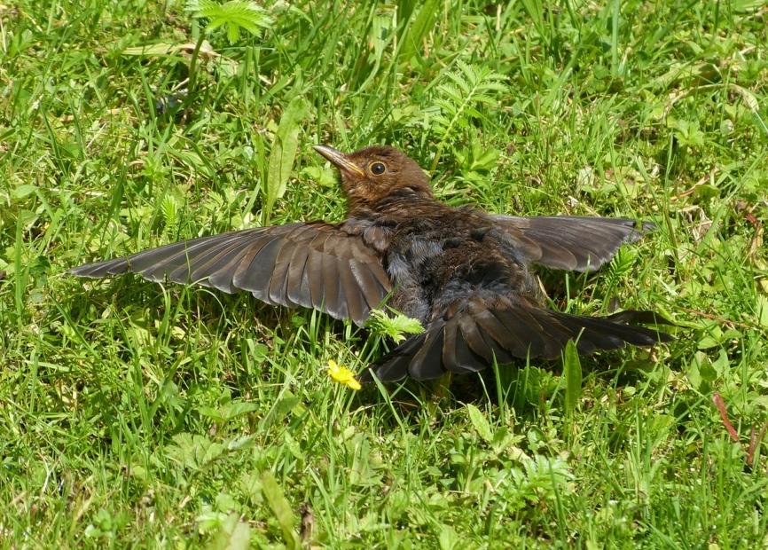 Sunbathing Blackbird, Llanelli WWT