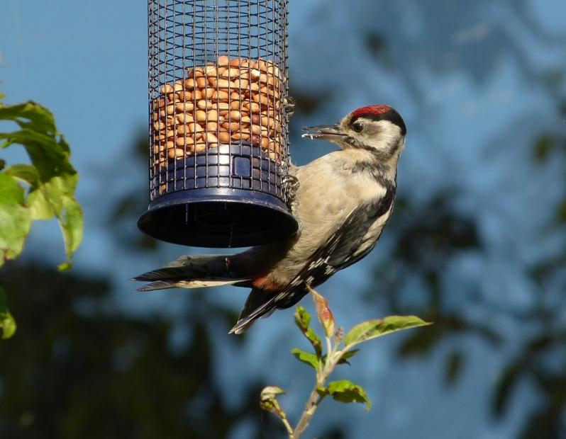 Great Spotted Woodpecker, Garden