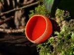 Scarlet Elf Cups