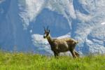 Wild Chamois, Switzerland