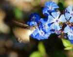 Hummingbird Hawk-moth, Kent