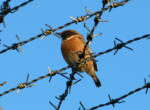 Stonechat - Bryn-bach-Common
