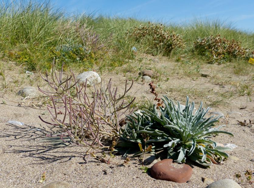 Sea Stock (matthiola sinuata), Rest Bay