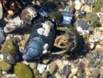 Hermit Crabs, Mumbles Rockpool