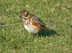 Redwing from 2010