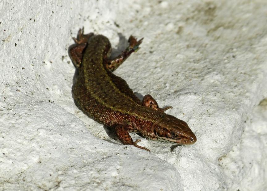 Common Lizard, Garden