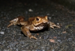 Toad, Burry Port