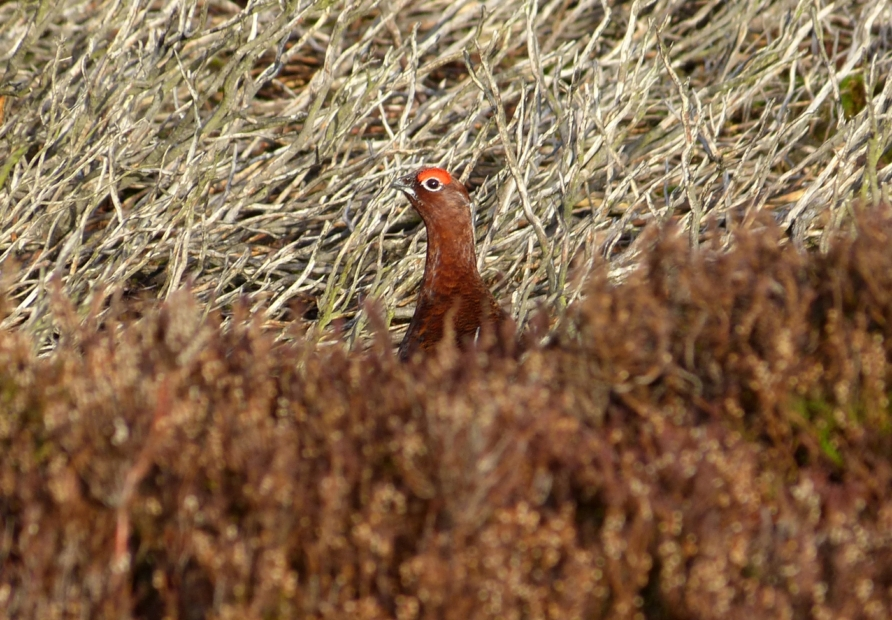 Red Grouse, Burley Moor