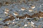 Turnstones and Ringed Plovers, Aberystwyth