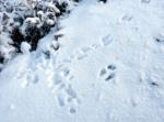 Snow Tracks, Rabbit