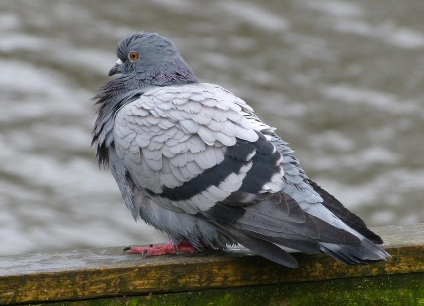 Feral Pigeon (Blue Bar)