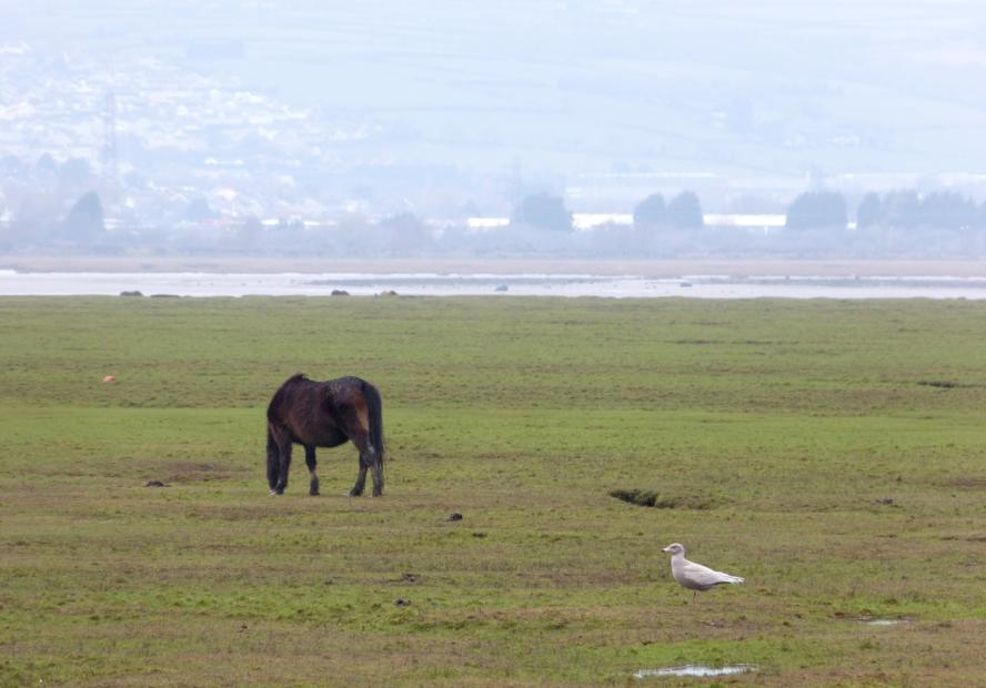 Glaucous Gull, Wernffrwd