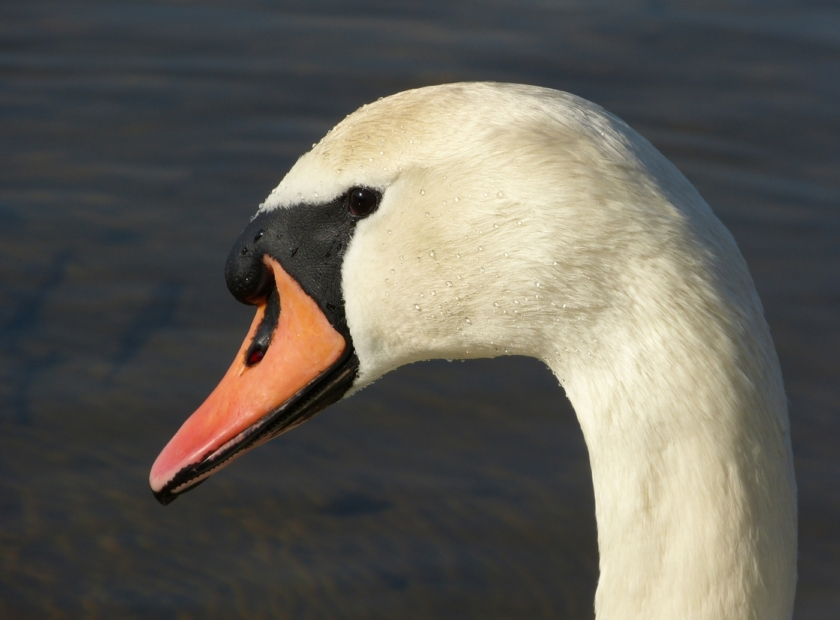 Mute Swan, Kenfig NNR