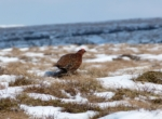 Red Grouse, Bleaklow