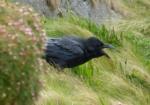 Raven, Mumbles Head