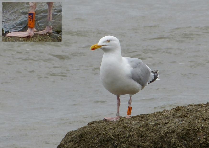 Herring Gull, Blue BBX