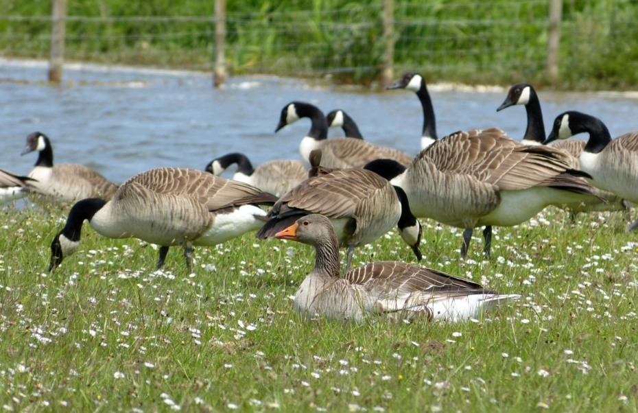 Greylag Goose, Kenfig NNR