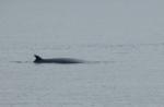 Minke Whale, Isle of Mull