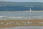 Sandwich and Common Terns, Burry Port
