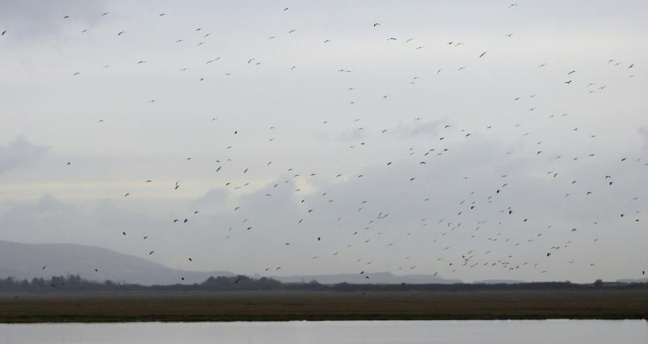 Lapwings, Llanelli WWT