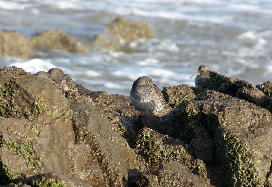 Purple Sandpiper, Port Eynon