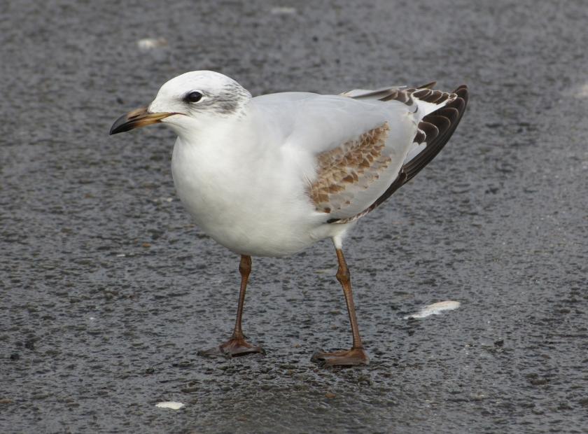 Mediterranean Gull, Bracelet Bay