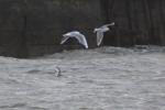 Little Gull, Aberavon