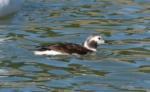 Long-Tailed Duck at the Knap, Barry