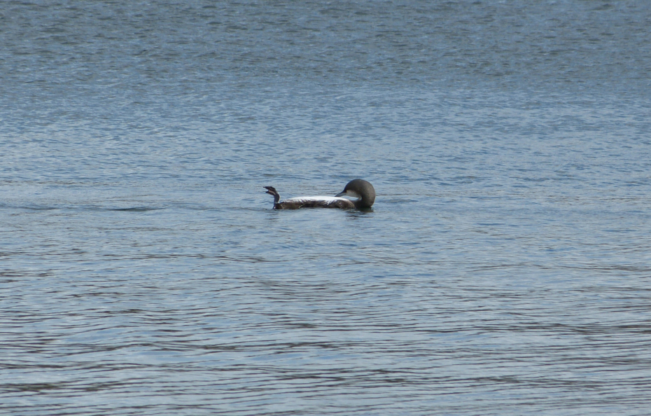 Black-throated Diver, Cosmeston Lakes