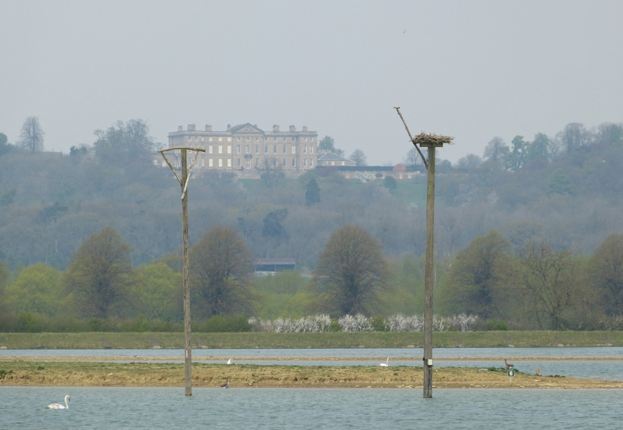 Osprey perches, Rutland Water