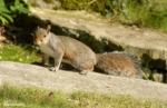 Squirrel, Conwy Valley