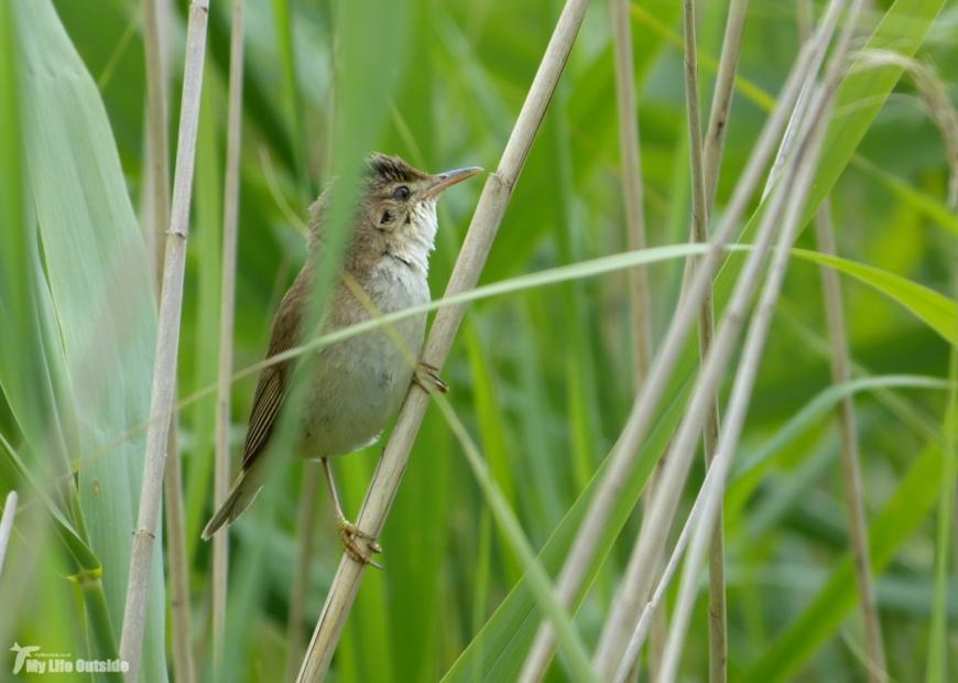 Reed Warbler, Newport Wetlands