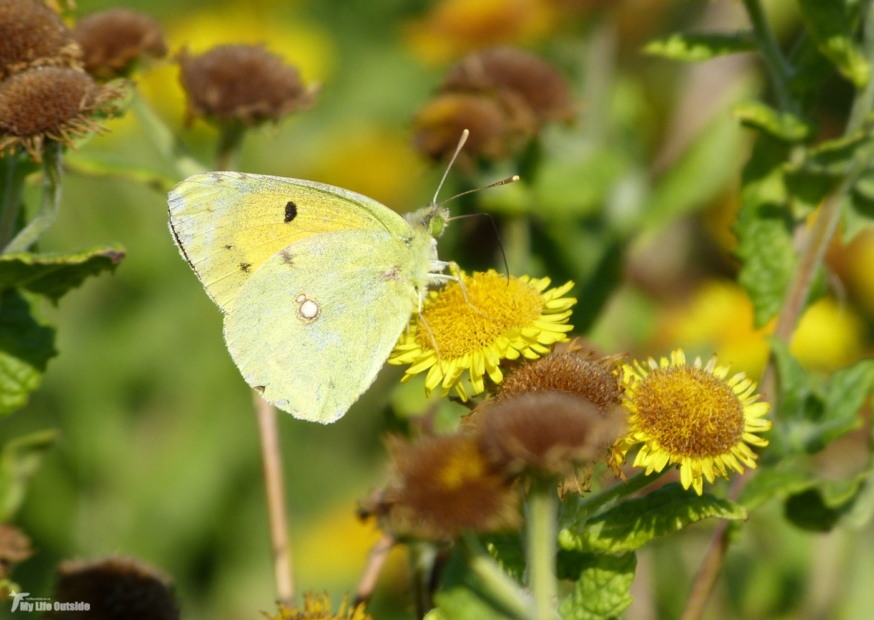 Clouded Yellow, Whiteford