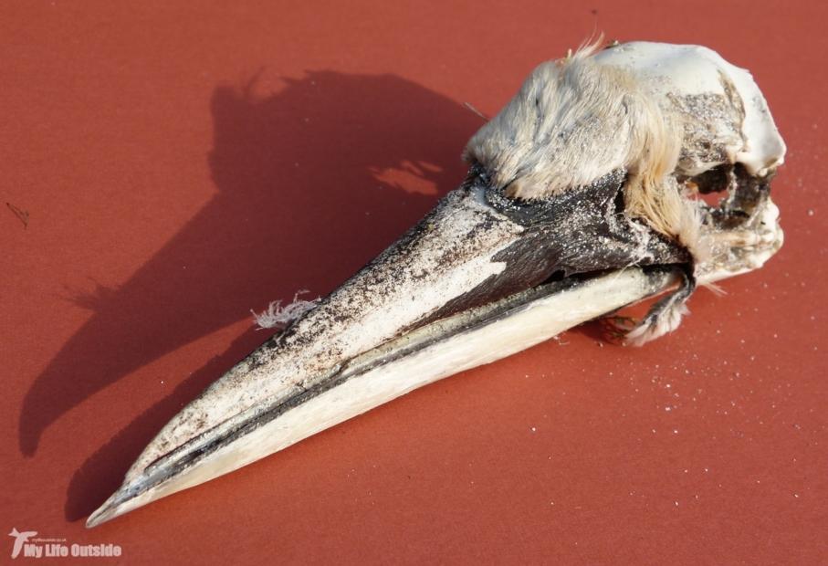 Gannet Skull