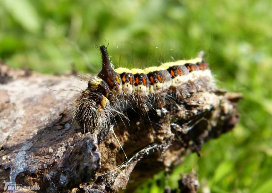 Grey Dagger Moth Caterpillar