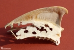 Shark Fin Cartilage