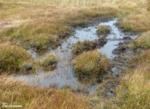 Red Deer wallowing pool, Isle of Mull