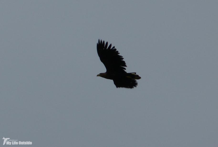 White-tailed Eagle, Isle of Mull