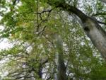 Local Beech Trees