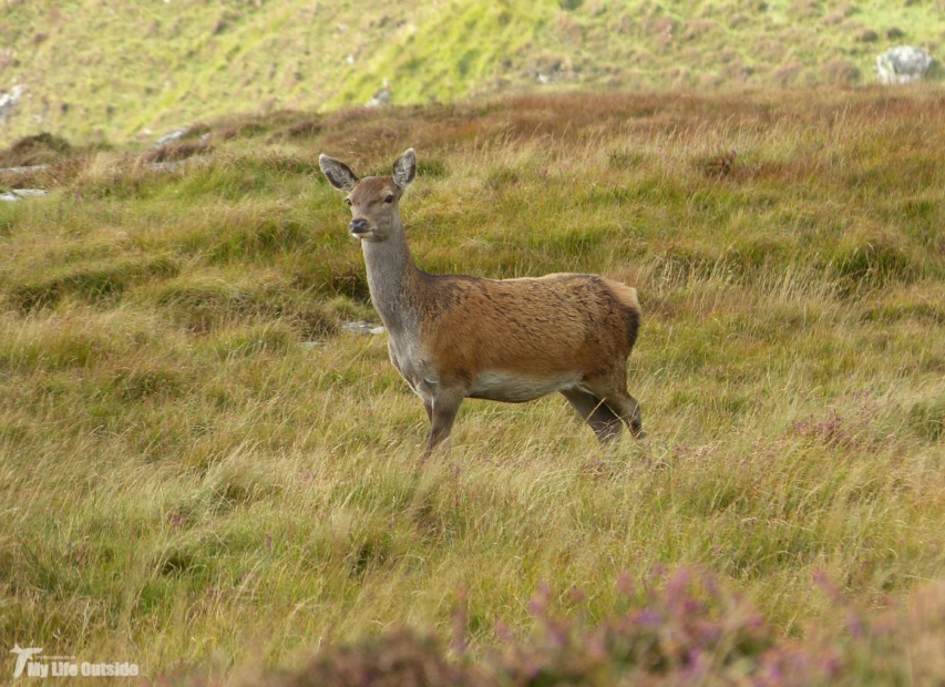 Red Deer, Isle of Mull