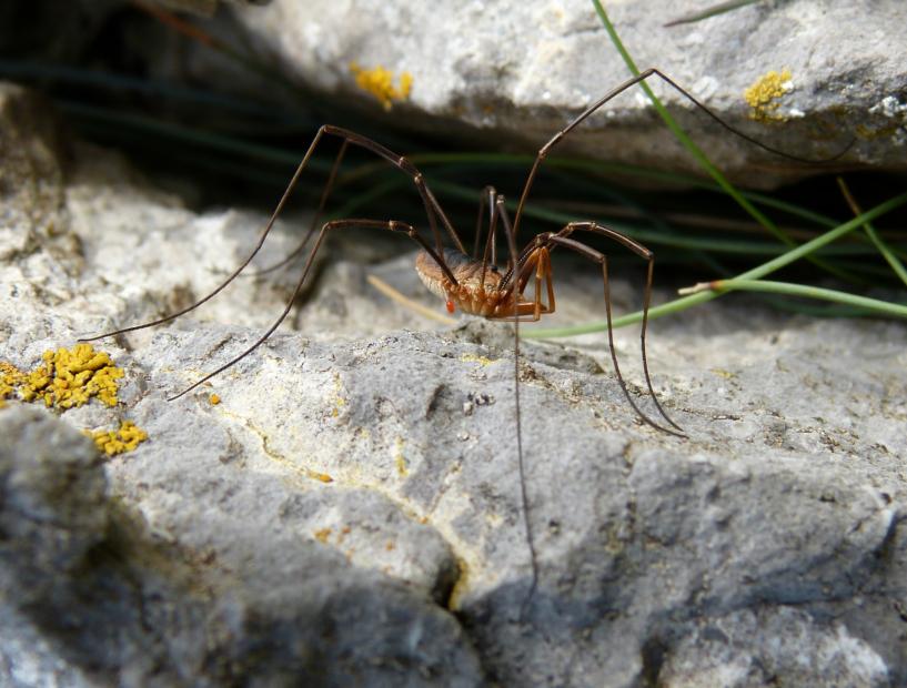 Harvestman Spider, Mewslade