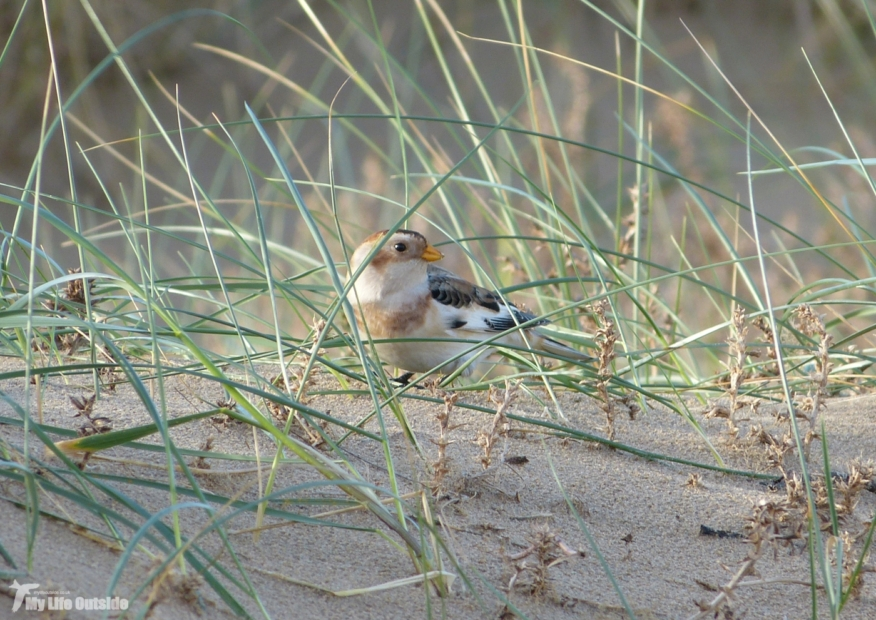 Snow Bunting, Titchwell