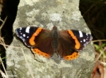An early Red Admiral